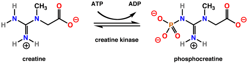 creatine kinase reaction diagram