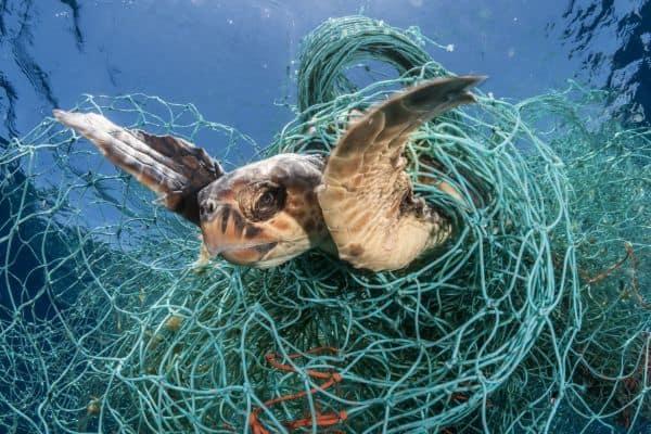 sea turtle caught in net