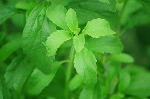 stevia leaves close up